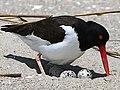 Haematopus palliatus-nest eggs.jpg