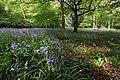 Hainault Forest April 2014 Bluebells.jpg