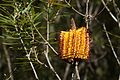 Hairpin Banksia (Banksia spinulosa) - Flickr - Tatters ❀.jpg