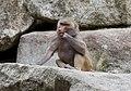 Hamadríade (Papio hamadryas), Tierpark Hellabrunn, Múnich, Alemania, 2012-06-17, DD 11.JPG