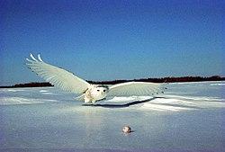 Harfang des neiges, sur le point de capturer un lemming, dans la neige