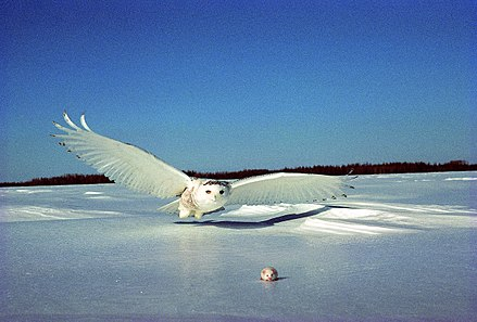 Snowy owl, the official bird of Quebec Harfang en vol 1.jpg