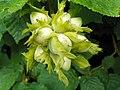 Hazel (Corylus avellana) nuts (29204781696).jpg