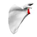 Head of scapula03.png