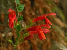 Heart-leaf Penstemon (4776487534).jpg