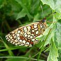 Heath Fritillary. U-S. Mellicta athalia - Flickr - gailhampshire.jpg