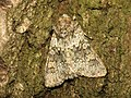 Hecatera dysodea (9417779226).jpg