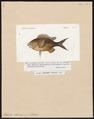 Heliastes chromis - 1817-1841 - Print - Iconographia Zoologica - Special Collections University of Amsterdam - UBA01 IZ13900313.tif