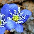 Hepatica nobilis 2.JPG