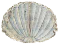 Herldique Coquille Saint Jacques.png