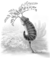Herpetogaster collinsi reconstruction.png
