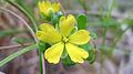 Hibbertia aspera flower (15415278854).jpg