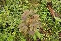Hibiscus acetosella 9610.jpg