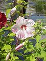 Hibiscus moscheutos9.jpg