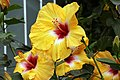 Hibiscus rosa-sinensis Jason 3zz.jpg