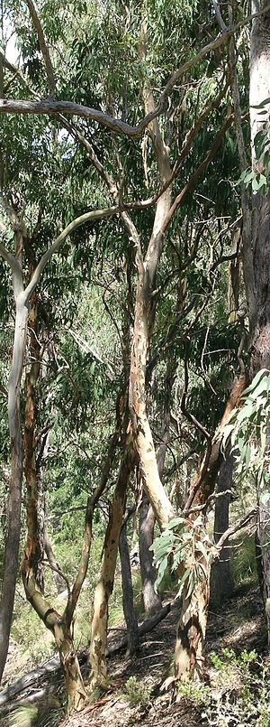 Hillgrove, New South Wales - Rare Eucalyptus michaeliana (Hillgrove Gums) in centre