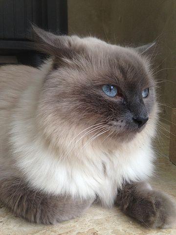 Gato himalayo ojos azules