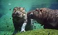 Hippopotamus amphibius -San Diego Zoo, California, USA -under water-8a.jpg