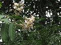 Hiptage benghalensis 05.JPG