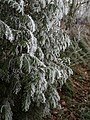 Hoarfrost on conifer - geograph.org.uk - 1110294.jpg