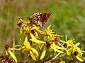 Hochmoor-Perlmutterfalter (Boloria aquilonaris) auf dem Brocken.jpg