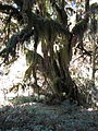 Hoh Rainforest - Olympic National Park - Washington State (9780250524).jpg
