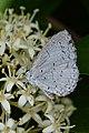 Holarctic Azure (Celastrina sp.) - Guelph, Ontario.jpg