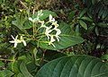 Holarrhena pubescens 03.JPG