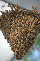 Honey Bees (129853343).jpg