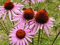 Honey bee on Echinacea purpurea.JPG