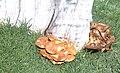 Hongo del Orden Aphyllophorales.jpg