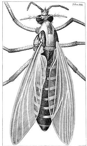 Gnat - Gnat from Robert Hooke's Micrographia, 1665