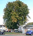 Horse Chestnut tree, Nuneaton town centre - geograph.org.uk - 1532798.jpg