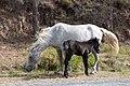 Horses (5089592082).jpg