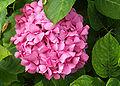 Hortensienbluete.jpg