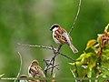 House Sparrow (Passer domesticus) (27599156704).jpg