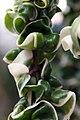 Hoya carnosa 9zz.jpg