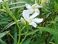 Hrushikesh kulkarni white oleander.JPG