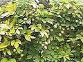 Humulus lupulus 'Aurea' - Golden Hop.jpg