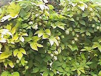 Humulus lupulus - 'Golden' hop