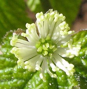 Hydrastis canadensis - goldenseal - desc-flower front view