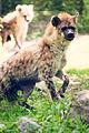 Hyena Running (18633267260).jpg