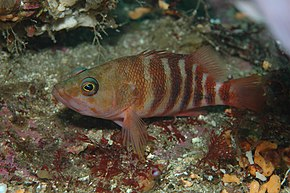 Description de l'image Hypoplectrodes huntii (Redbanded perch).jpg.