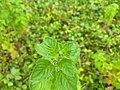 Hyptis suaveolens, American mint 2.jpg