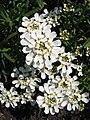 Iberis sempervirens 'Weisser Zwerg' Ubiorek wiecznie zielony 2006-05-03 03.jpg
