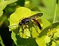 Ichneumon Wasp (34546700951).jpg