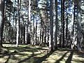 Ifrane National Park cedar forest.jpg