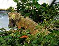 Iguana - Flickr - gailhampshire.jpg