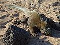 Iguana on the beach at the Charles Darwin Research Station photo by Alvaro Sevilla Design.JPG