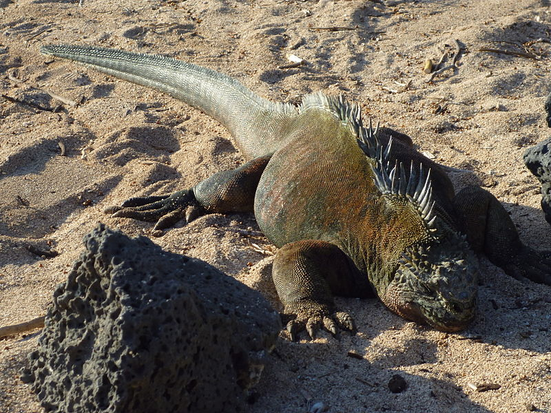 800px-Iguana_on_the_beach_at_the_Charles_Darwin_Research_Station_photo_by_Alvaro_Sevilla_Design.JPG